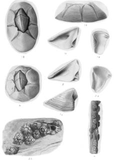 To NMNH Extant Collection (Chthamalus fragilis USNM 15623, 48856, unrecordec catalog number)