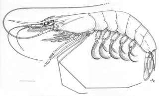 To NMNH Extant Collection (IZ Xiphopenaeus kroyeri)