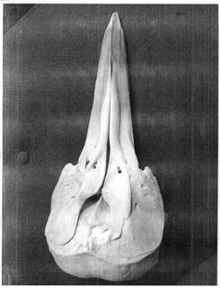 To NMNH Extant Collection (MME18685 Stenella frontalis skull)