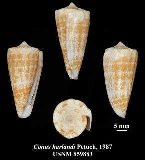 To NMNH Extant Collection (IZ MOL USNM 859883 Conus harlandi Petuch, 1987 plate)