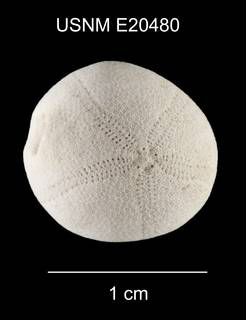 To NMNH Extant Collection (Eurhodia relicta USNM E20480 dorsal)