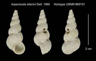 To NMNH Extant Collection (Asperiscala eltanini Holotype USNM 860101)