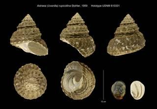 To NMNH Extant Collection (Astraea Uvanilla rupicollina Holotype USNM 610331)
