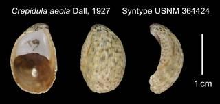 To NMNH Extant Collection (Crepidula aeola Syntype USNM 364424)