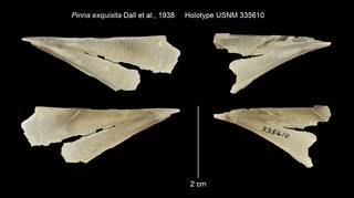 To NMNH Extant Collection (Pinna exquisita Holotype USNM 335610)