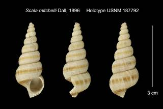 To NMNH Extant Collection (Scala mitchelli Holotype USNM 187792)