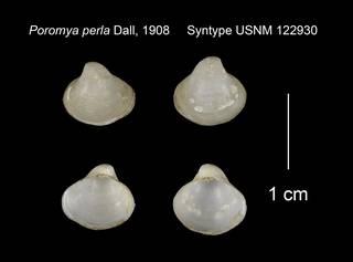 To NMNH Extant Collection (Poromya perla Syntype USNM 122930)