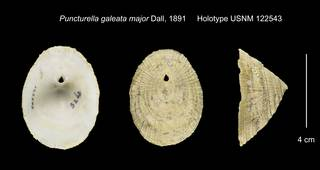 To NMNH Extant Collection (Puncturella galeata major Holotype USNM 122543)