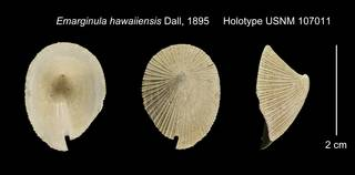 To NMNH Extant Collection (Emarginula hawaiiensis Holotype USNM 107011)