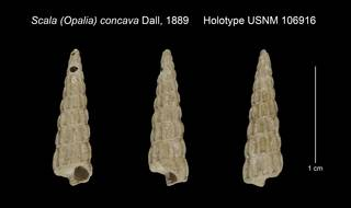 To NMNH Extant Collection (Scala Opalia concava Holotype USNM 106916)