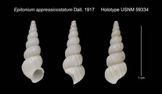 To NMNH Extant Collection (Epitonium appressicostatum Holotype USNM 59334)