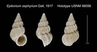 To NMNH Extant Collection (Epitonium zephyrium Holotype USNM 56056)