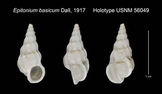 To NMNH Extant Collection (Epitonium basicum Holotype USNM 56049)