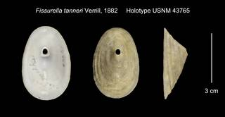 To NMNH Extant Collection (Fissurella tanneri Holotype USNM 43765)