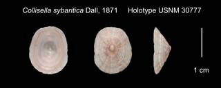 To NMNH Extant Collection (Collisella sybaritica Holotype USNM 30777)