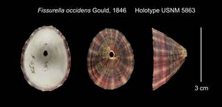 To NMNH Extant Collection (Fissurella occidens Holotype USNM 5863)