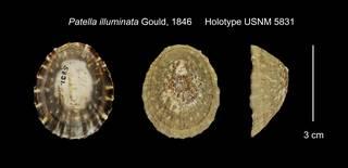 To NMNH Extant Collection (Patella illuminata Holotype USNM 5831)