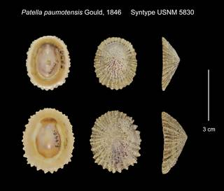To NMNH Extant Collection (Patella paumotensis Syntype USNM 5830)