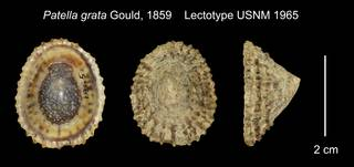 To NMNH Extant Collection (Patella grata Lectotype USNM 1965)