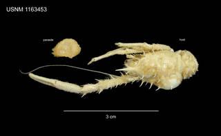 To NMNH Extant Collection (Galatheascus minutus (Boschma, 1933) (USNM 1163453))