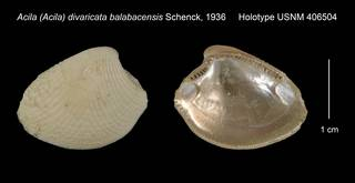To NMNH Extant Collection (Acila Acila divaricata balabacensis Holotype USNM 406504)