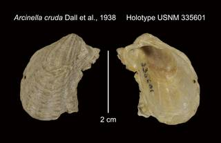 To NMNH Extant Collection (Arcinella cruda Holotype USNM 335601)