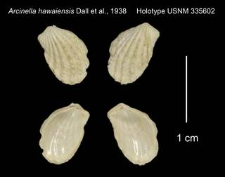 To NMNH Extant Collection (Arcinella hawaiensis Holotype USNM 335602)