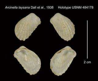 To NMNH Extant Collection (Arcinella laysana Holotype USNM 484178)