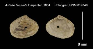 To NMNH Extant Collection (Astarte fluctuata Holotype USNM 819749)