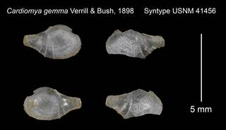 To NMNH Extant Collection (Cardiomya gemma Syntype USNM 41456)