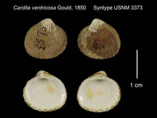 To NMNH Extant Collection (Cardita ventricosa Syntype USNM 3373)