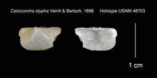 To NMNH Extant Collection (Cetoconcha atypha Holotype USNM 48703)