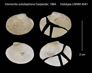 To NMNH Extant Collection (Clementia subdiaphana Holotype USNM 4541)