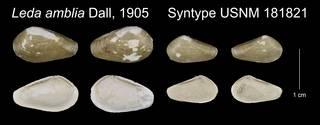To NMNH Extant Collection (Leda amblia Syntype USNM 181821)