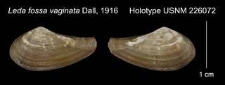 To NMNH Extant Collection (Leda fossa vaginata Holotype USNM 226072)
