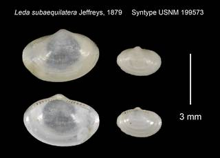To NMNH Extant Collection (Leda subaequilatera Syntype USNM 199573)