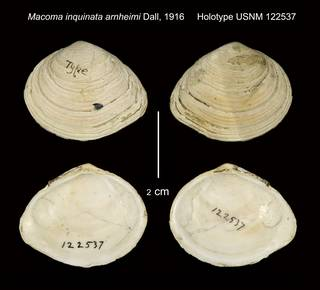 To NMNH Extant Collection (Macoma inquinata arnheimi Holotype USNM 122537)