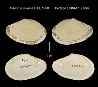 To NMNH Extant Collection (Macoma sitkana Holotype USNM 108656)
