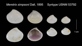To NMNH Extant Collection (Meretrix simpsoni Syntype USNM 53792)