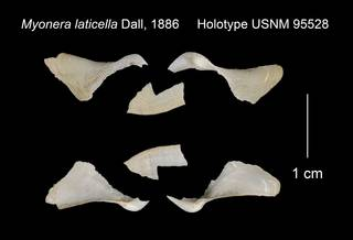 To NMNH Extant Collection (Myonera laticella Holotype USNM 95528)