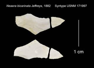To NMNH Extant Collection (Neaera bicarinata Syntype USNM 171997)