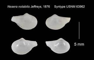 To NMNH Extant Collection (Neaera notabilis Syntype USNM 63962)