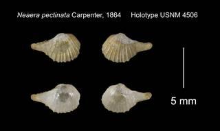 To NMNH Extant Collection (Neaera pectinata Holotype USNM 4506)