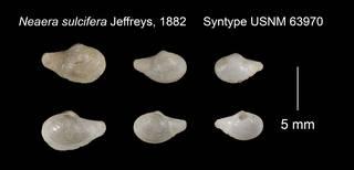 To NMNH Extant Collection (Neaera sulcifera Syntype USNM 63970)