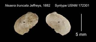 To NMNH Extant Collection (Neaera truncata Syntype USNM 172301)