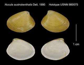 To NMNH Extant Collection (Nucula austrobenthalis Holotype USNM 860075)