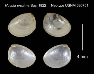 To NMNH Extant Collection (Nucula proxima Neotype USNM 680751)