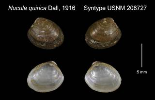 To NMNH Extant Collection (Nucula quirica Syntype USNM 208727)