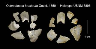 To NMNH Extant Collection (Osteodesma bracteata Holotype USNM 5896)