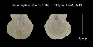 To NMNH Extant Collection (Pecten leptaleus Holotype USNM 38413)